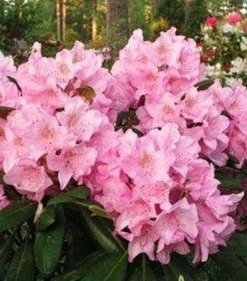 Rhododendron 'Helsinki University', Рододендрон 'Хельсинки Юниверсити'