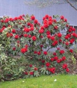 Rhododendron 'Busuki' Рододендрон