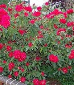 Rhododendron 'Busuki', Рододендрон 'Бусуки'