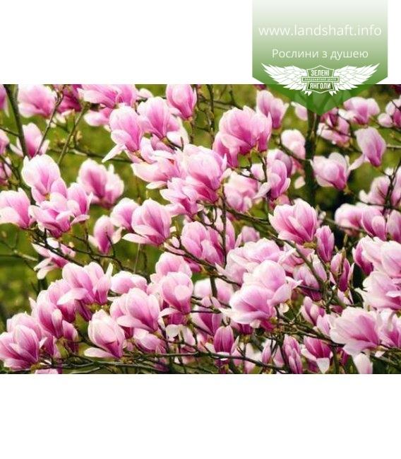 Magnolia hybrida 'George Henry Kern', Магнолія гібридна 'Джордж Генрі Керн'