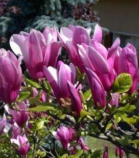 Magnolia hybrida 'George Henry Kern', Магнолия гибридная 'Джордж Генри Керн'
