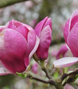 Magnolia x soulangeana 'Lombardy Rose' Магнолия Суланжа