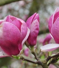 Magnolia x soulangeana 'Lombardy Rose', Магнолия Суланжа 'Лобарди Роуз'