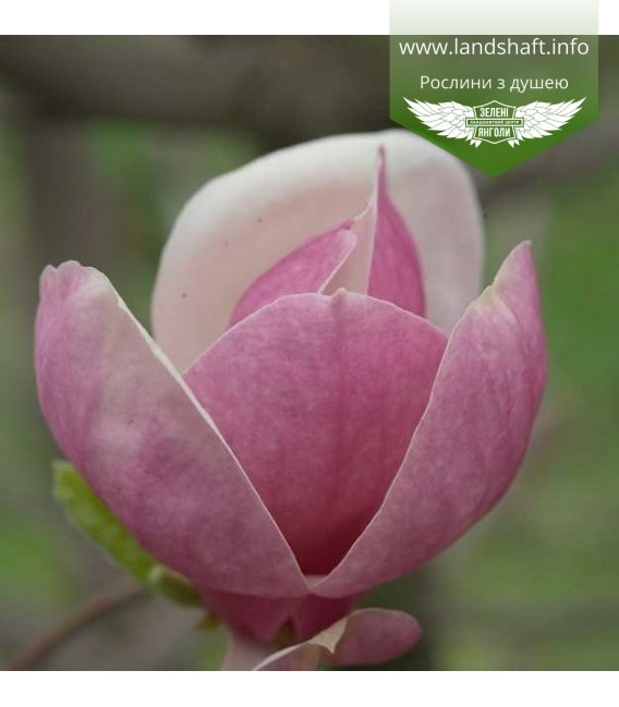 Magnolia x soulangeana 'Lombardy Rose', Магнолія Суланжа 'Ломбарді Роуз'