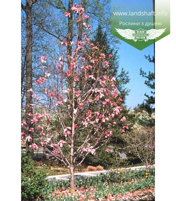 Magnolia 'Galaxy', Магнолія 'Галаксі'