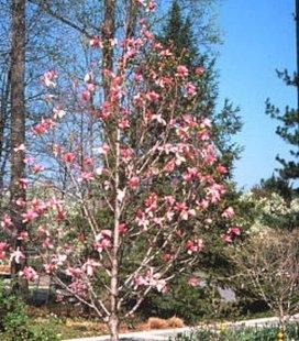 Magnolia 'Galaxy' Магнолія