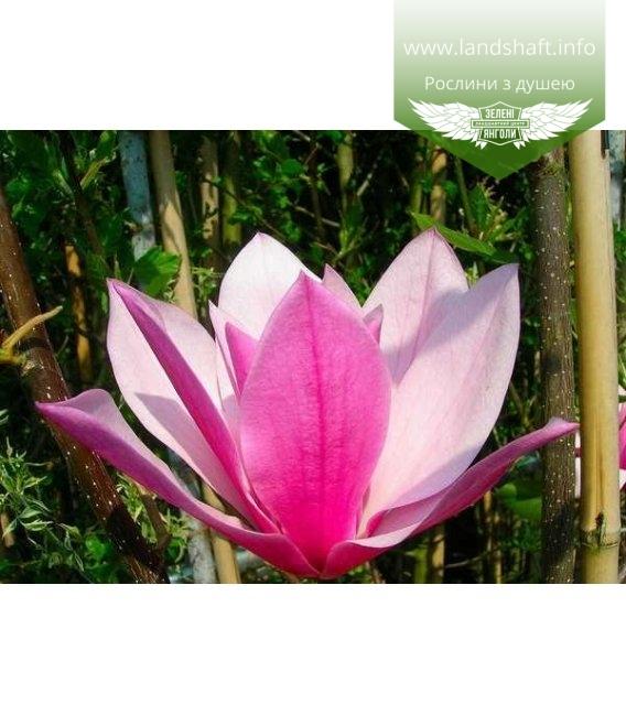 Magnolia 'Galaxy' Магнолия