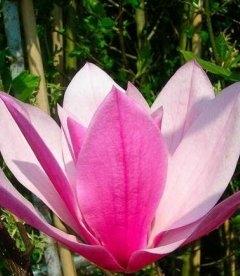 Magnolia 'Galaxy', Магнолия 'Галакси'