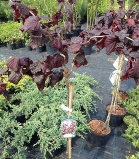 Corylus avellana 'Red Majestic' (stam) Ліщина звичайна (штамб)