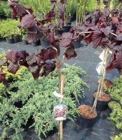 Corylus avellana 'Red Majestic', Ліщина європейська 'Ред Маджестік'