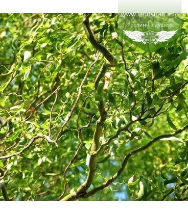Salix matsudana 'Tortuosa' Ива Матсудана