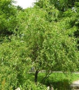 Salix matsudana 'Tortuosa', Верба Матсуди 'Тортуоза'