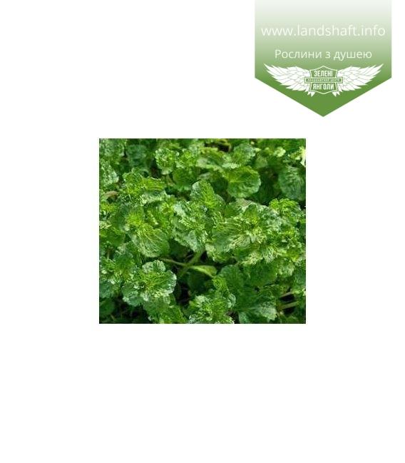 Mentha spicata 'Crispa', М'ята колосиста 'Кріспа'