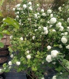 Viburnum opulus 'Roseum' Калина обыкновенная