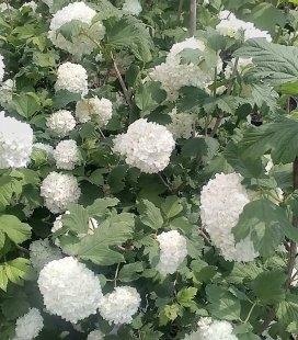 Viburnum opulus 'Roseum' Калина звичайна