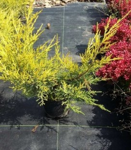 Juniperus chinensis 'Favorit', Можжевельник китайский 'Фаворит'