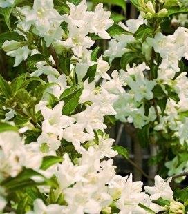 Weigela florida 'Candida', Вейгела цветущая 'Кандида'
