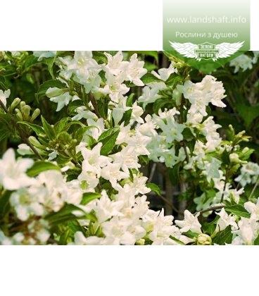 Weigela florida 'Candida' Вейгела цветущая