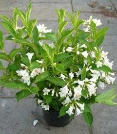 Weigela florida 'Candida', Вейгела квітуча 'Кандіда'