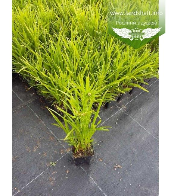 Liatris spicata Лиатрис колосковый