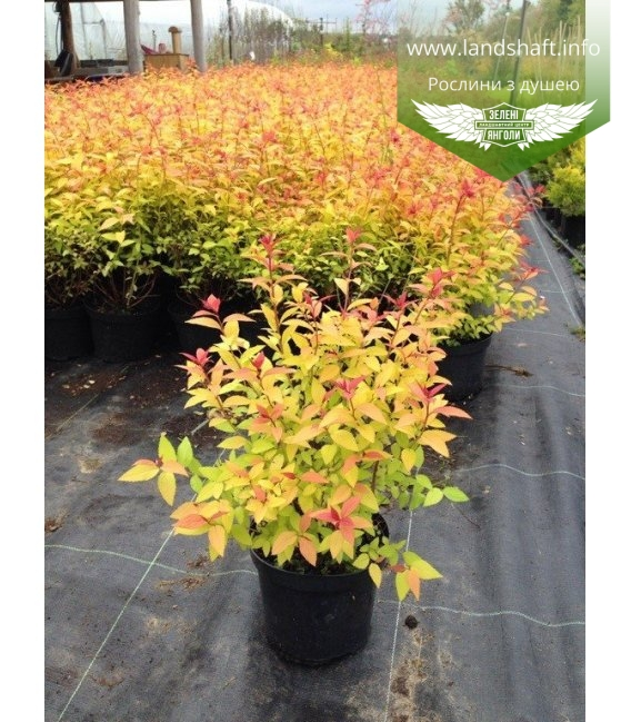 Spiraea japonica 'Goldflame' Спирея японская