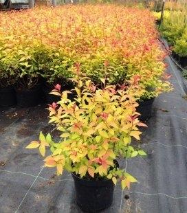 Spiraea japonica 'Goldflame' Спірея японська 'Голдфлейм'