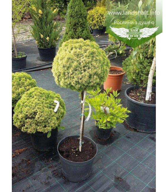 Picea glauca 'Dendrofarma Gold' (stam) Ель канадская (штамб)