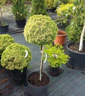 Picea glauca 'Dendrofarma Gold', Ель канадская 'Дендрофарма Голд' штамб