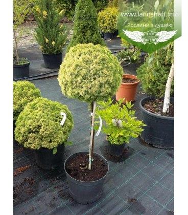 Picea glauca 'Dendrofarma Gold', Ялина канадська 'Дендрофарма Голд' штамб