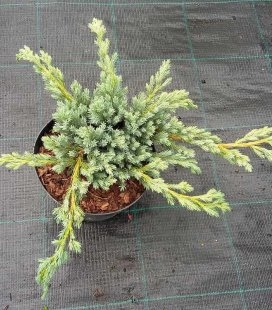 Juniperus squamata 'Blue Spider', Можжевельник чешуйчатый 'Блу Cпайдер'
