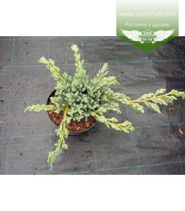 Juniperus squamata 'Blue Spider' Можжевельник чешуйчатый 'Блю Cпайдер'
