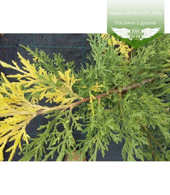 Juniperus x media 'Blue and Gold', Ялівець середній 'Блу Енд Голд'