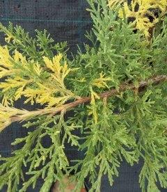 Juniperus chinensis 'Blue and Gold' Можжевельник китайский 'Блу энд Голд'