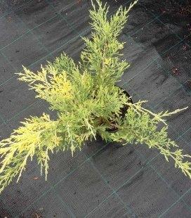 Juniperus chinensis 'Blue and Gold' Ялівець китайський