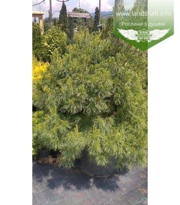 Pinus strobus 'Tiny Curls' Сосна веймутова 'Тайни Кёрлз'