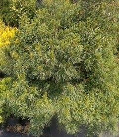 Pinus strobus 'Tiny Curls', Сосна веймутова 'Тайни Керлз'