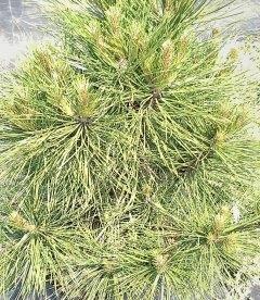 Pinus nigra 'Spielberg' Сосна черная 'Спилберг'