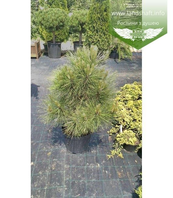 Pinus nigra 'Spielberg', Сосна чорна 'Спілберг'