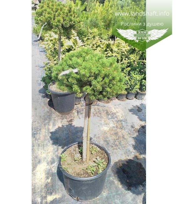 Pinus mugo 'Ophir', Сосна гірська 'Офір'