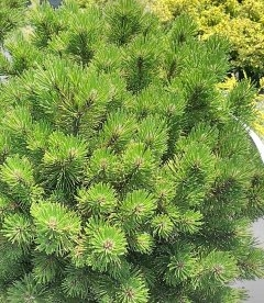 Pinus mugo 'Ophir' stam Сосна горная 'Офир' штамб