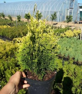 Thuja occidentalis 'Golden Pearl' Туя западная