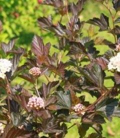 Physocarpus opulifolius 'Atropurpurea', Пузыреплодник калинолистный 'Атропурпуреа'