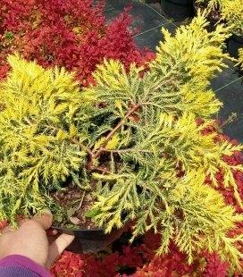 Juniperus x media 'Gold Star', Можжевельник средний 'Голд Стар'