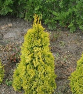 Thuja occidentalis 'Filips Magic Moment' Туя західна