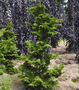 Chamaecyparis obtusa 'Contorta', Кипарисовик туполистний 'Конторта'