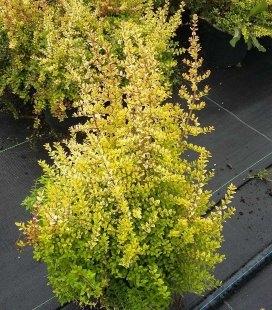 Lonicera nitida 'Baggesen's Gold' Жимолость блестящая