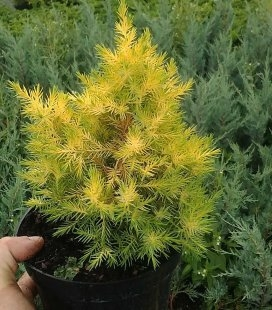 Juniperus chinensis 'Winter Bronze', Можжевельник китайский 'Винтер Бронз'