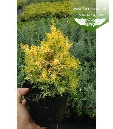Juniperus chinensis 'Winter Bronze' Можжевельник китайский 'Уинтер Бронз'
