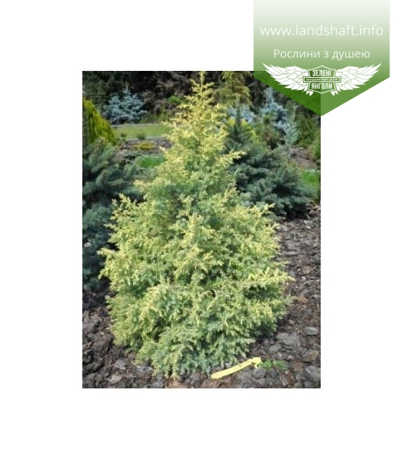Juniperus chinensis 'Winter Bronze', Ялівець китайський 'Вінтер Бронз'