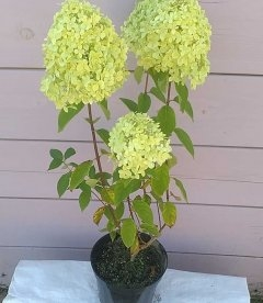 ydrangea paniculata 'Limelight' Гортензия метельчатая